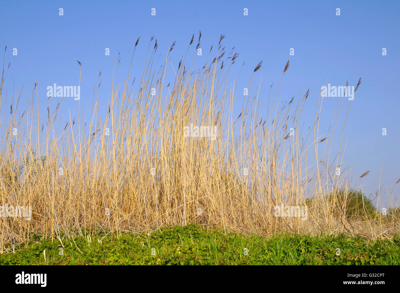 Large gold grass on blue sky background - Stock Image