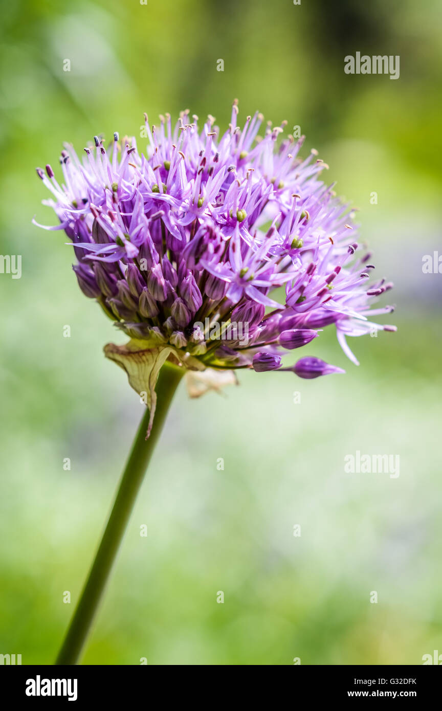 blooming ornamental onion flower (Allium) - Stock Image