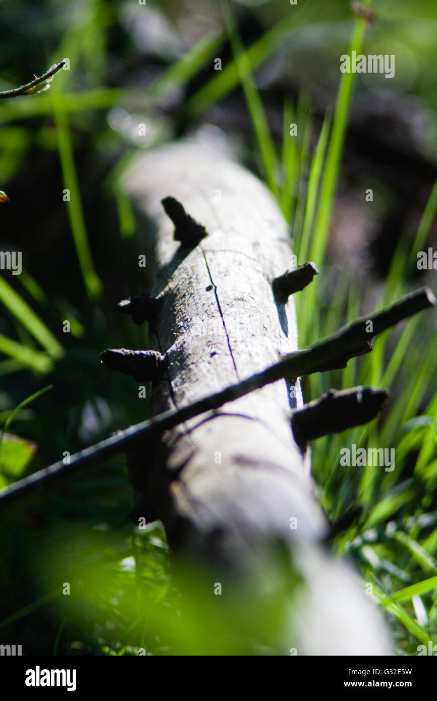 Branch on the floor of an Irish Forest located in the South East of Ireland - Stock Image
