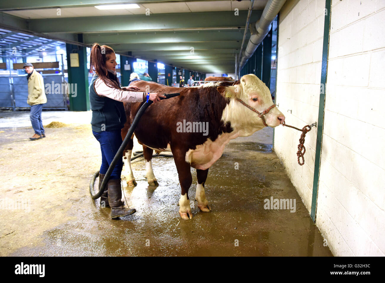 Hereford bull being groomed with hair dryer at Staffordshire County Show - Stock Image