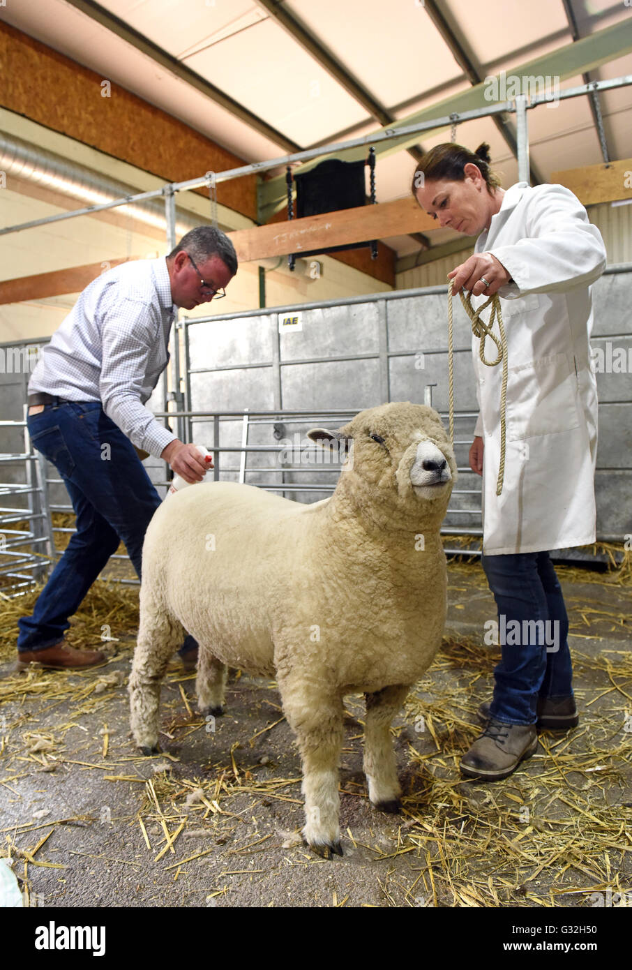 A Ryeland sheep being groomed for showing at Staffordshire County Show - Stock Image