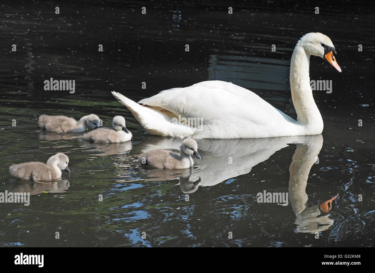 A view of a mother swan swimming with her baby cygnets alongside - Stock Image