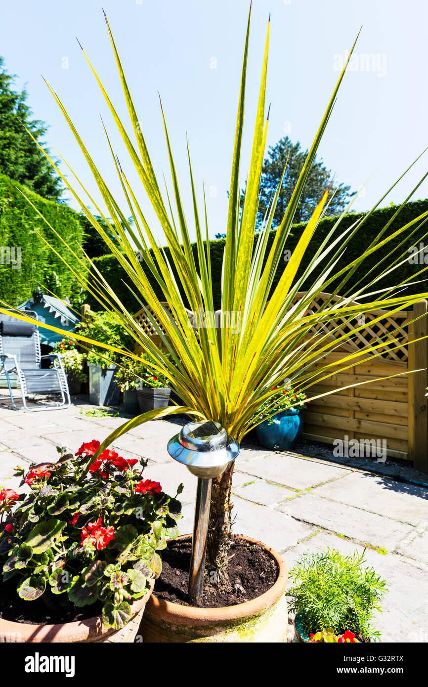 Cordyline is a genus of about 15 species of woody monocotyledonous flowering plants family Asparagaceae, subfamily Stock Photo
