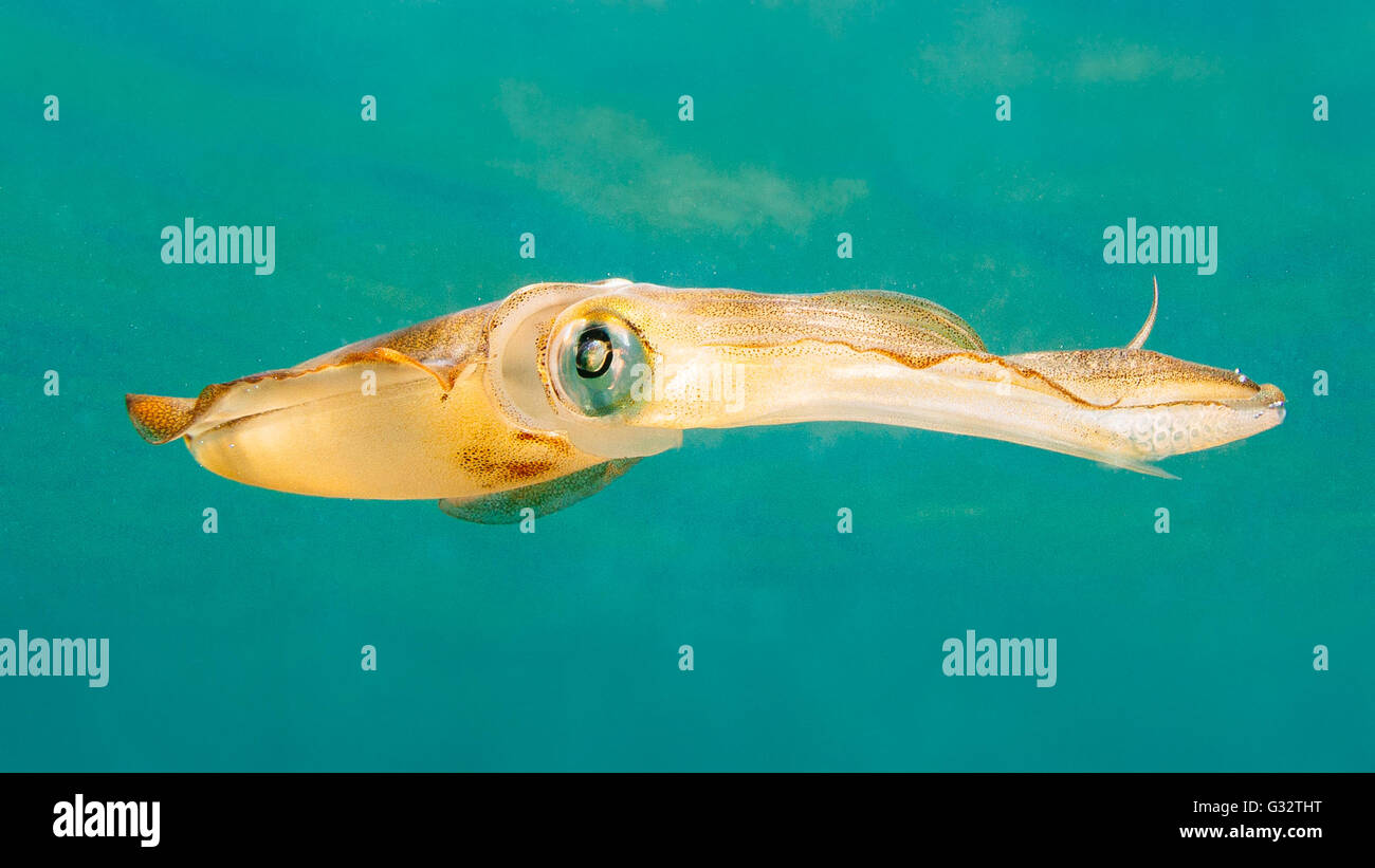 Squid swimming in sea - Stock Image
