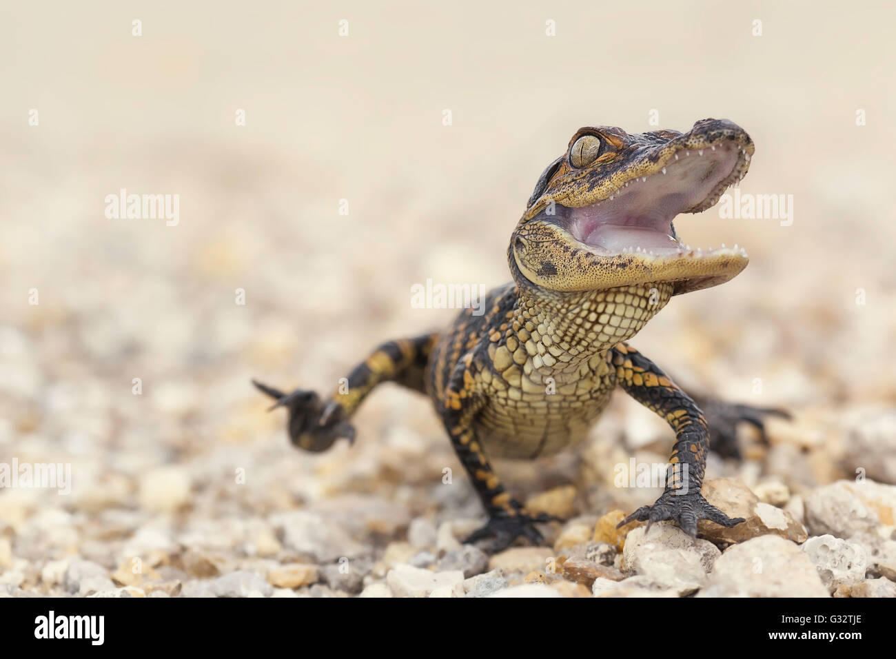 American Alligator (Alligator mississippiensis) hatchling, Florida, America, USA - Stock Image