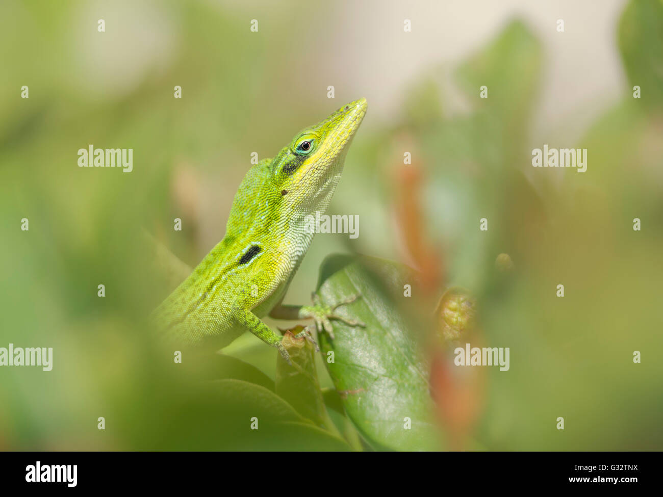 Florida green anole lizard (Anolis carolinensis) doing courtship display, Florida, America, USA Stock Photo