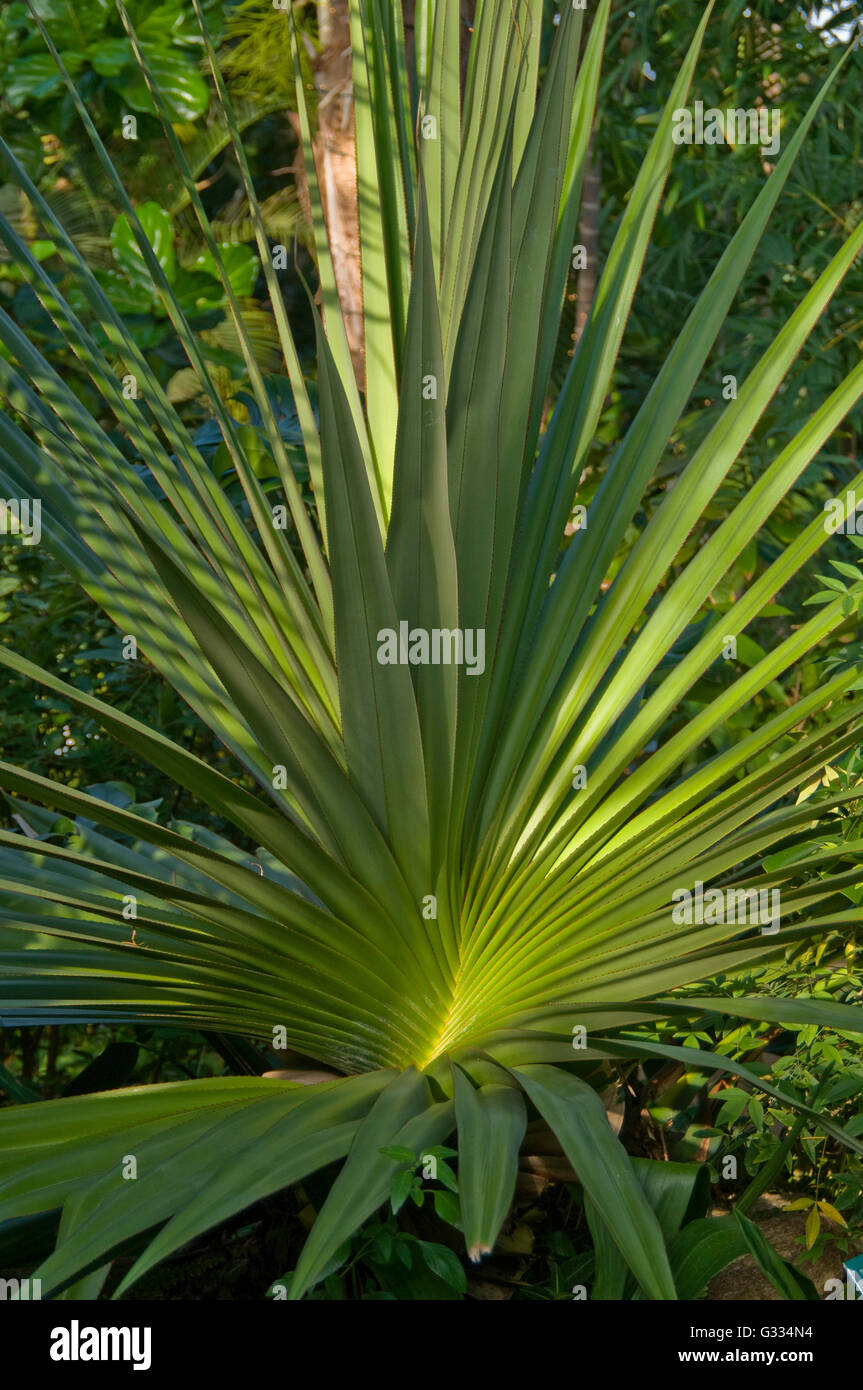 Pandanus  utilis, Screw Pine, - Stock Image