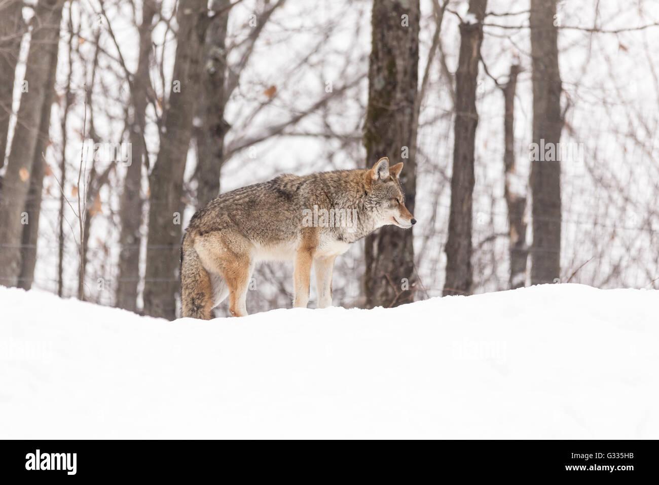 A lone coyote in a winter scene - Stock Image