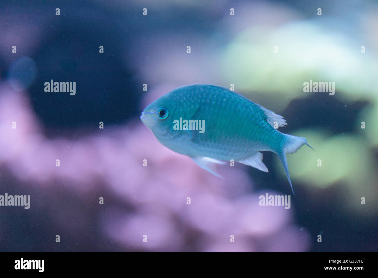 Bluegreen chomis fish, Chromis viridis, has a pale green color and is found on the reef - Stock Image