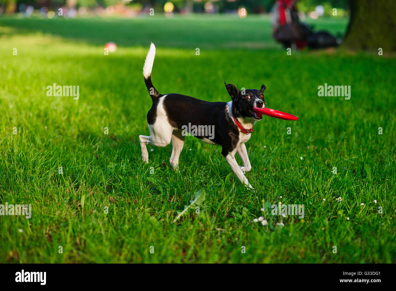 The dog bears frisbee in a mouth.Cute black and white doggy running through the green grass.She average size with - Stock Image