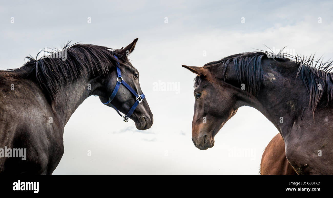 Two stallions looking at each other. - Stock Image