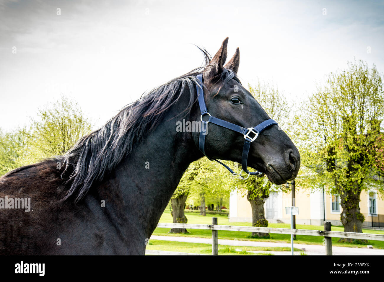 Stallion - Stock Image