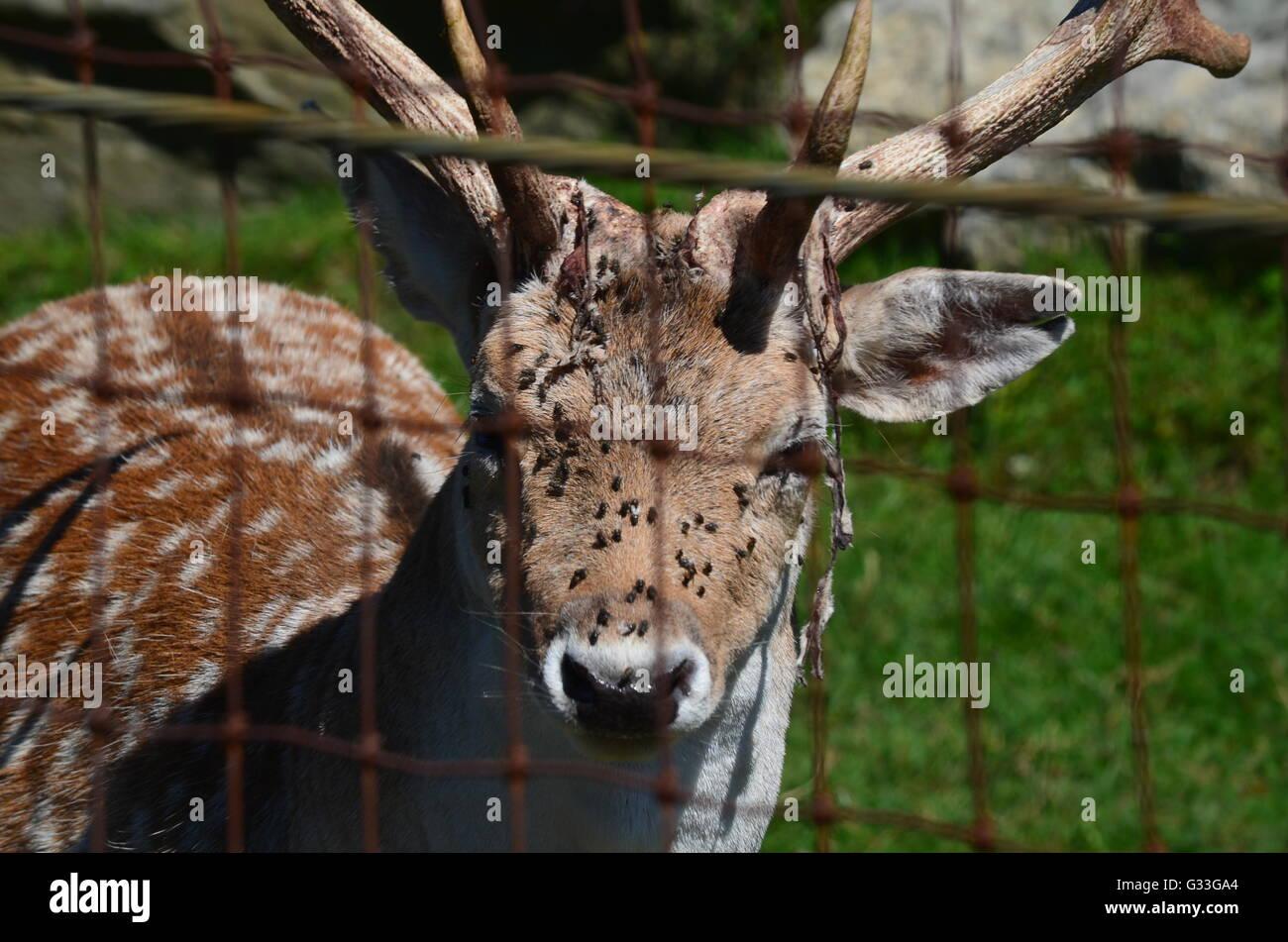 Fallow deer - Stock Image