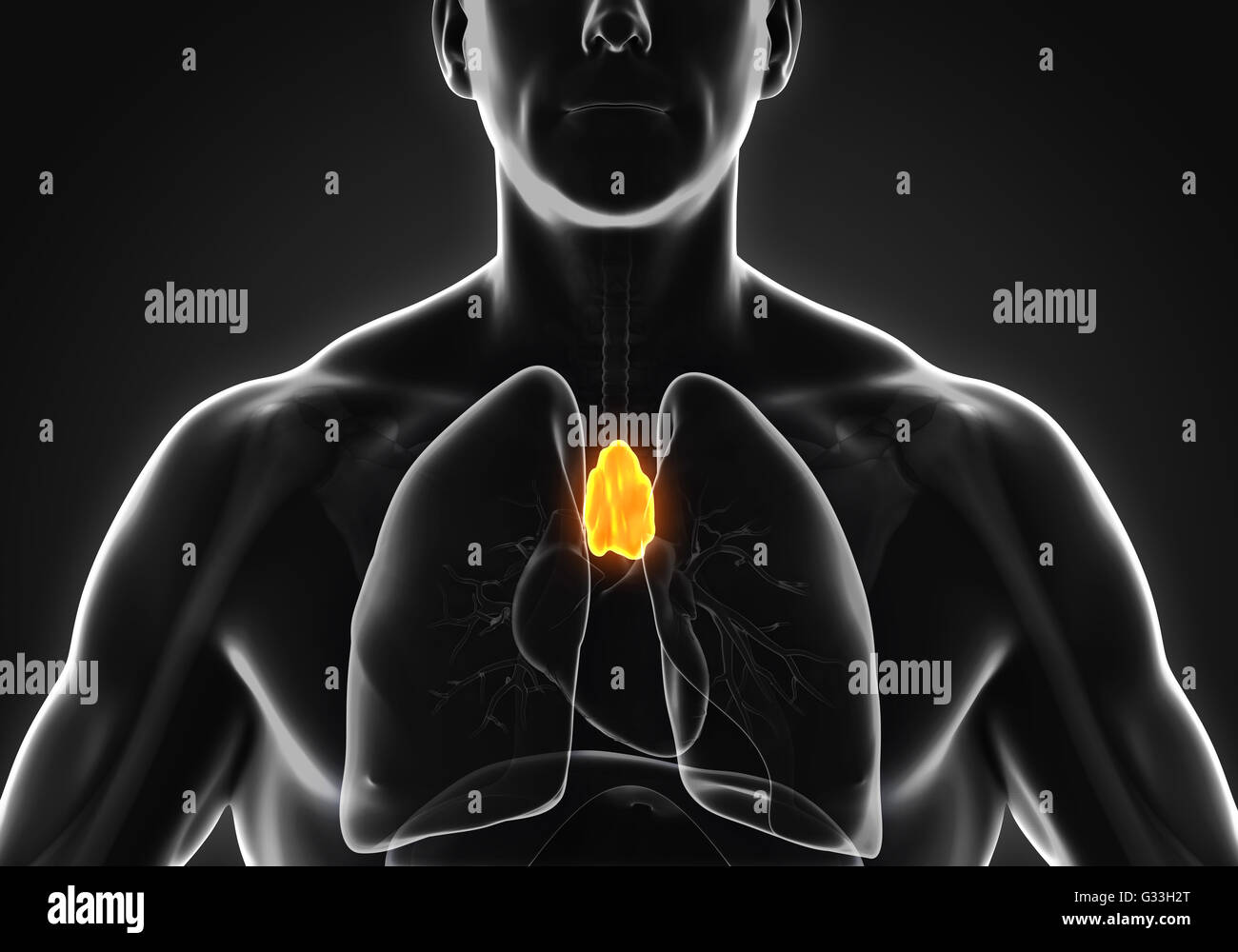 Human Thymus Anatomy Stock Photo: 105185440 - Alamy