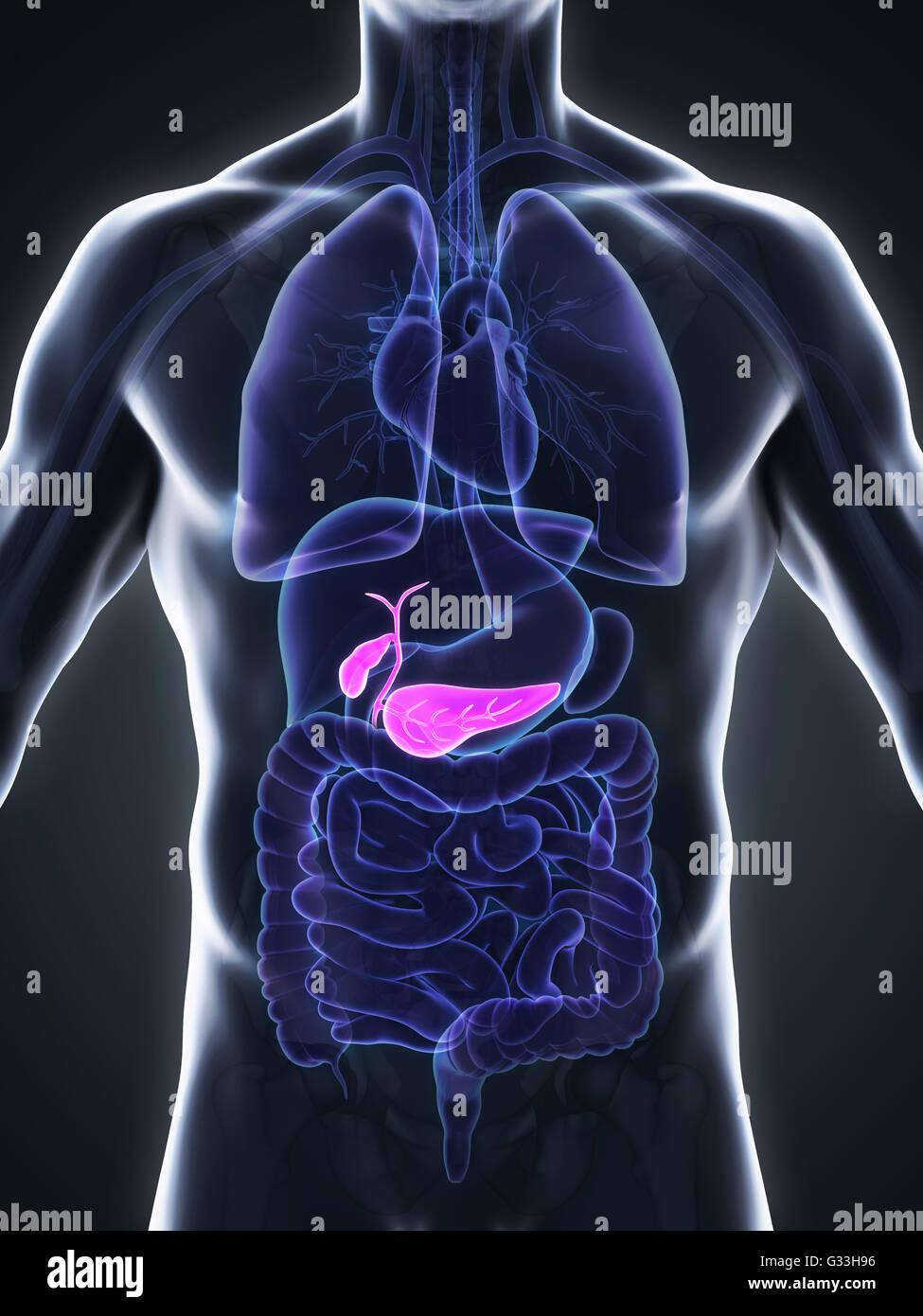 Human Gallbladder and Pancreas Anatomy Stock Photo: 105185618 - Alamy