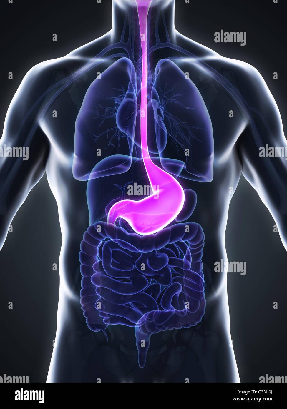 Human Stomach Anatomy Stock Photo 105185630 Alamy