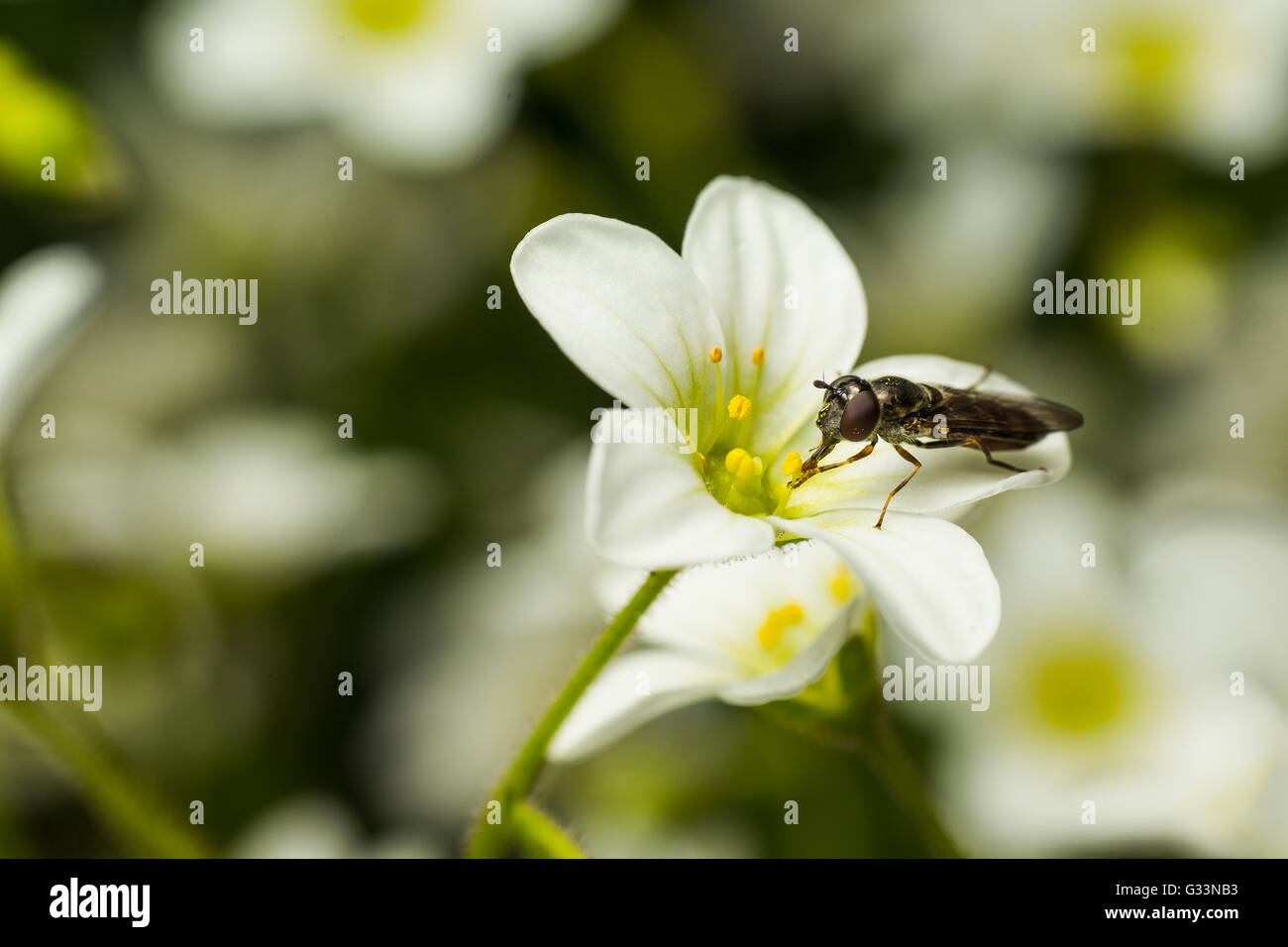 Close up of Bee Syrphe insect collecting bee pollen from white Saxifraga flower - Stock Image