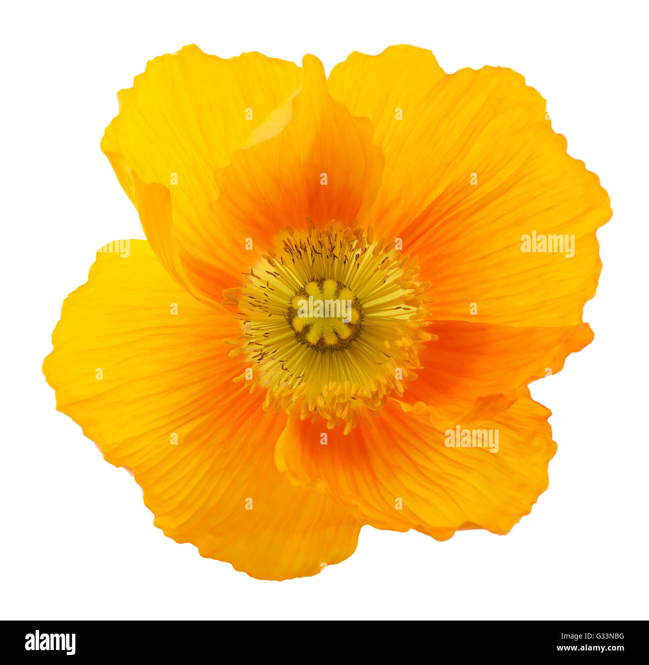Alpine poppy flower isolated on white background - Stock Image