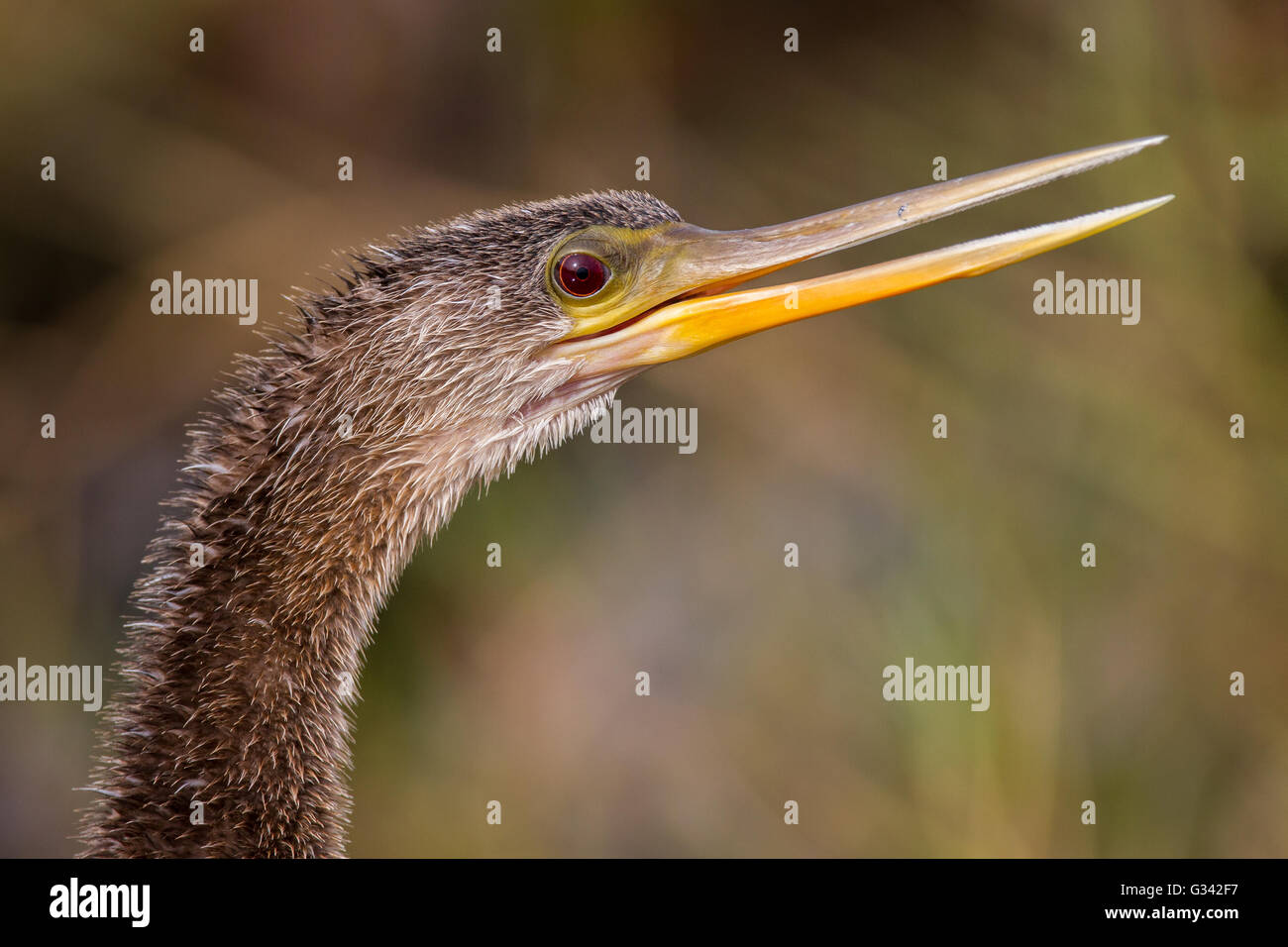 A portrait of an anhinga calling. - Stock Image