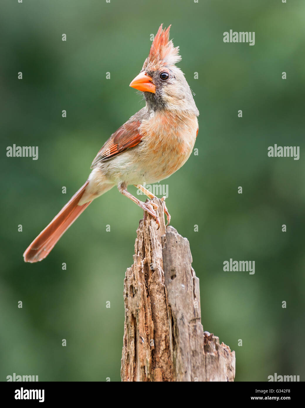 A female northern cardinal perched on a pine stump. Stock Photo