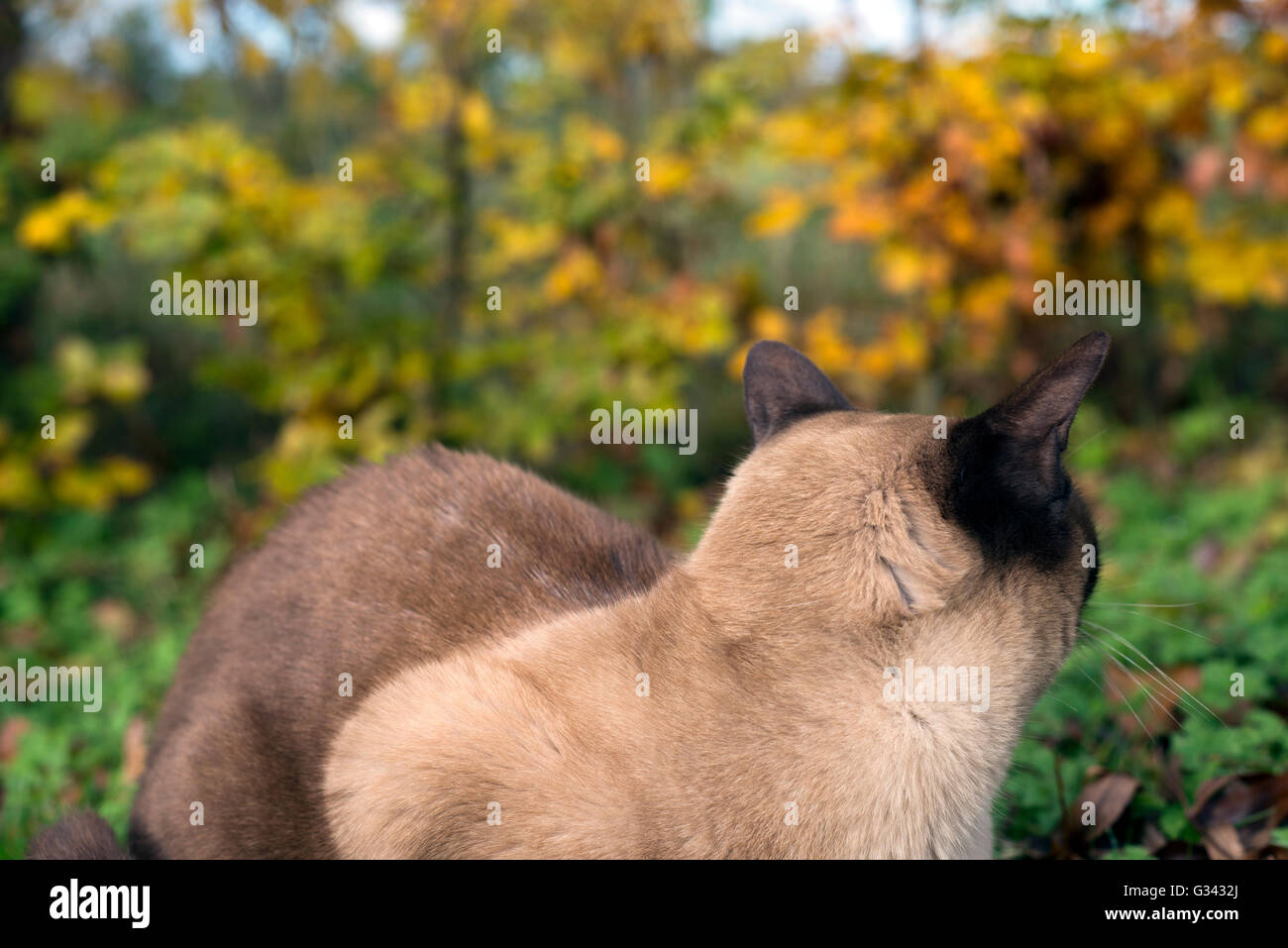 Burmese cat in amongst the foliage Stock Photo