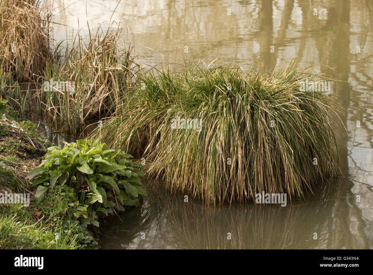 Overwintering tussocks of black sedge, Carex nigra, a perennial plant of European wetlands, March - Stock Image