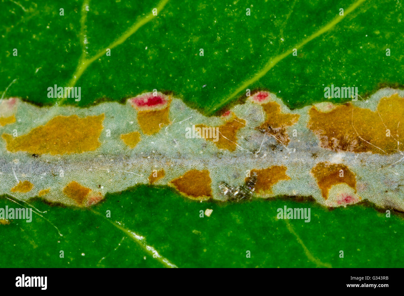 Firethorn or Pyracantha leaf mining-moth, Phyllonorycter leucographella, leaf mine or galley - Stock Image