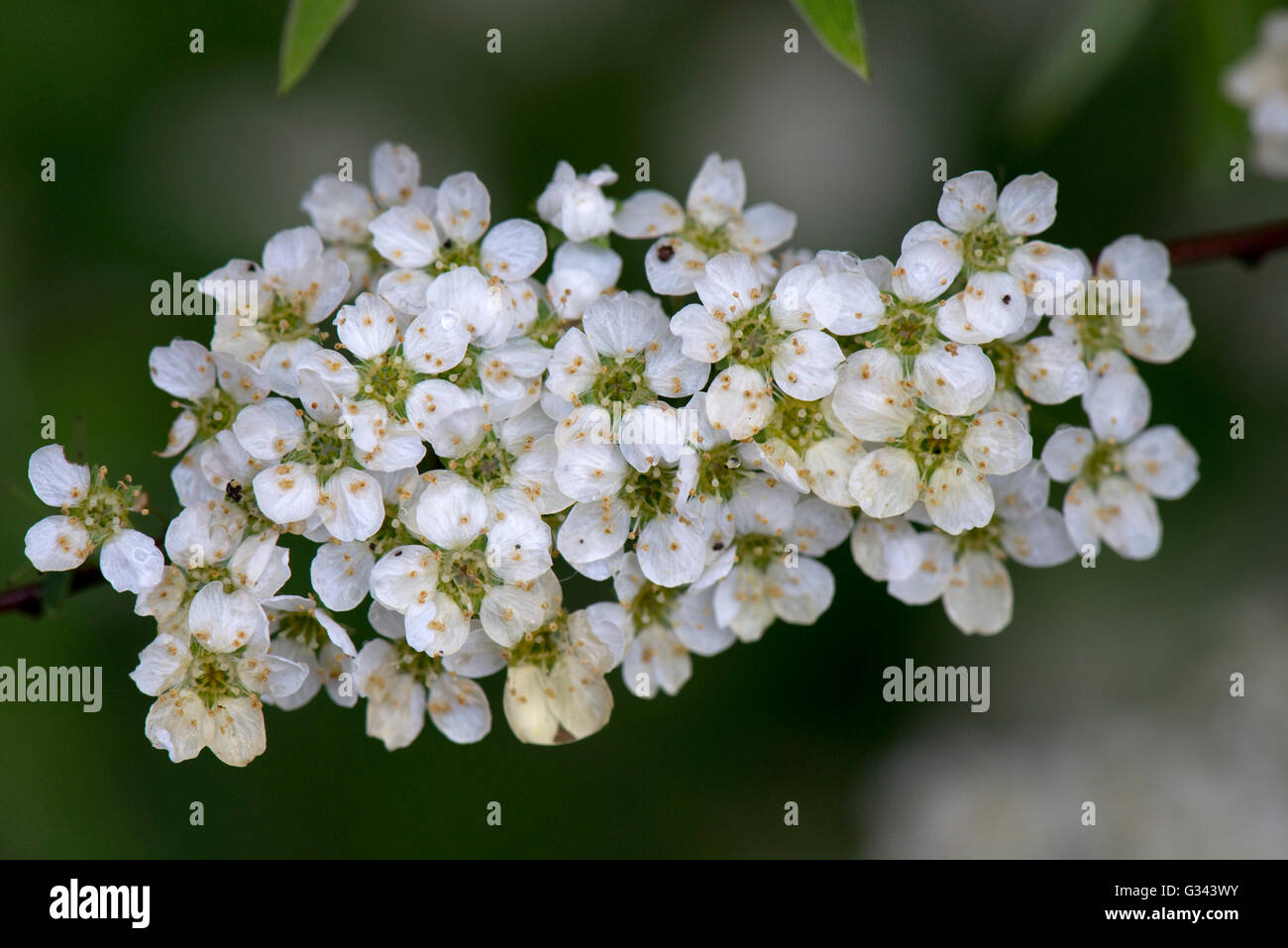 Bridal wreath or foam of may, Spirea 'Arguta', clusters of white flowers in spring, Berkshire, May - Stock Image