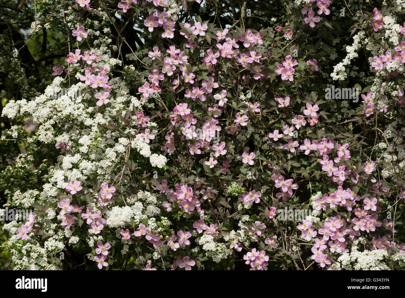 Clematis montana var rubens 'Terarose' flowers intertwined with may blossom on a hawthorn tree, May - Stock Image