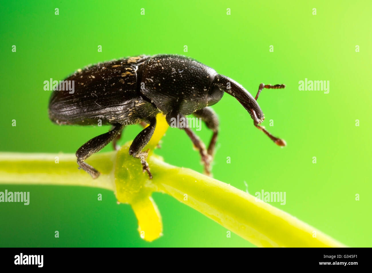 Black Weevil Beetle macro photograph - Stock Image