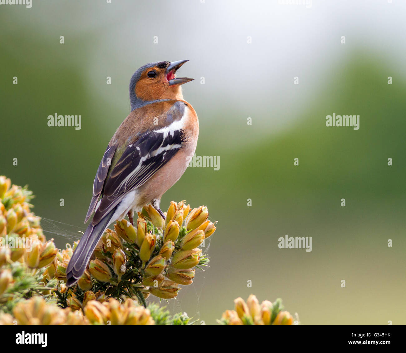 Male chaffinch singing in the gorse, Yorkshire, UK - Stock Image