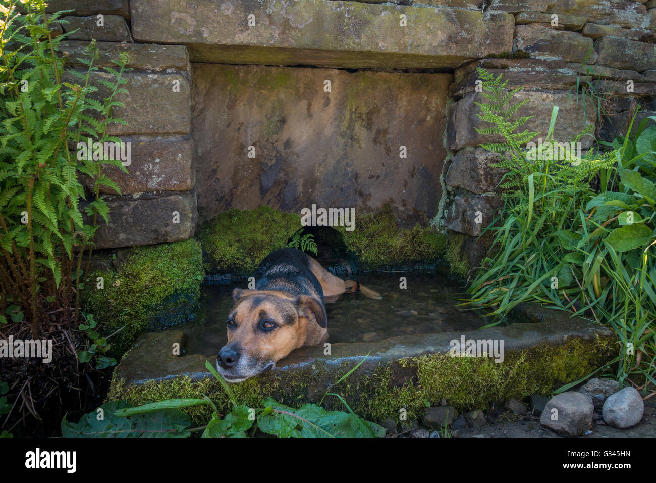 Dog cooling off in a stone water trough built into a wall, UK - Stock Image