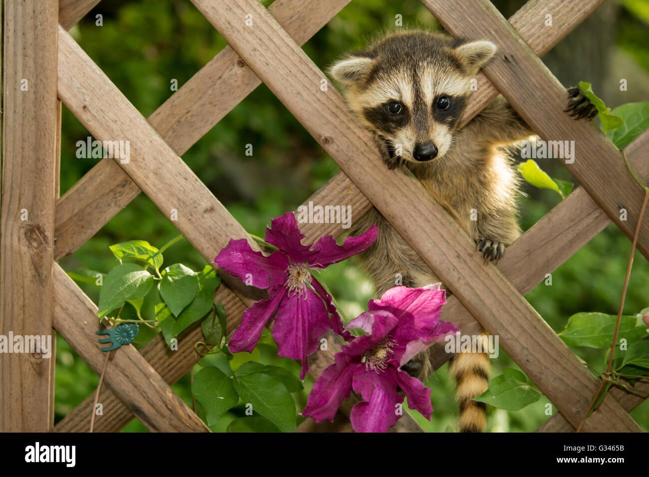 A baby raccoon climbing in the garden Stock Photo