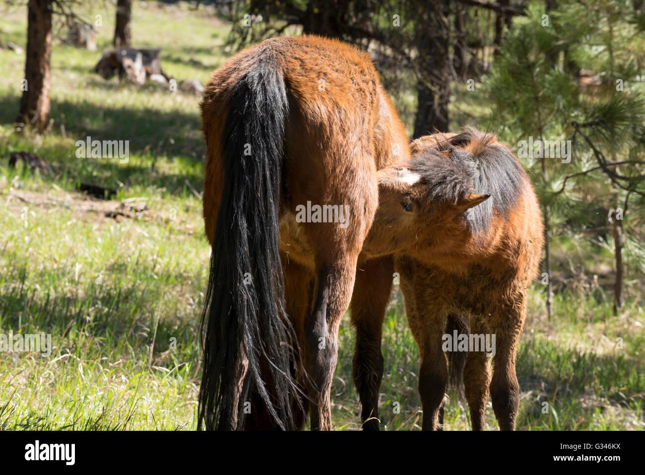 Wild horse nursing it's foal in Oregon's Ochoco Mountains. - Stock Image