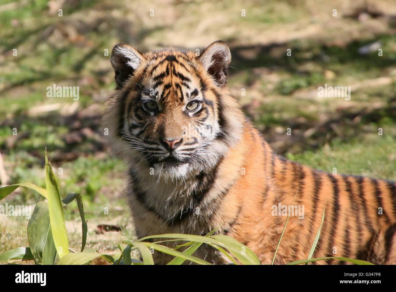 Angry female Sumatran tiger whelp  (Panthera tigris sumatrae) staring menacingly - Stock Image