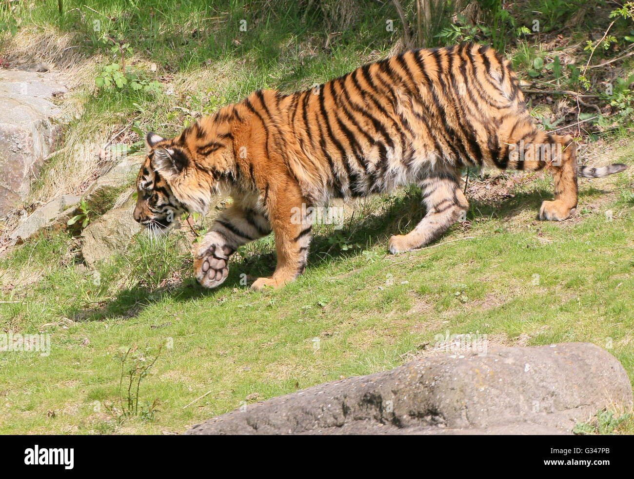 Juvenile female Sumatran tiger (Panthera tigris sumatrae) on the prowl - Stock Image