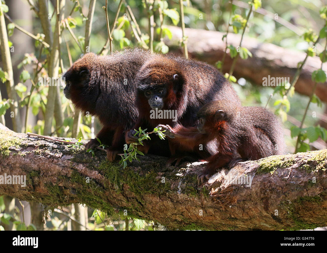 Family of South American Coppery or copper coloured Titi Monkeys (Callicebus cupreus) Stock Photo
