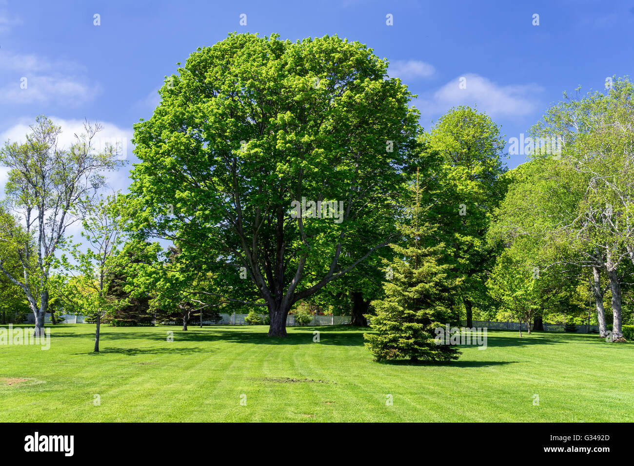 Majestic trees in an open parkland. - Stock Image