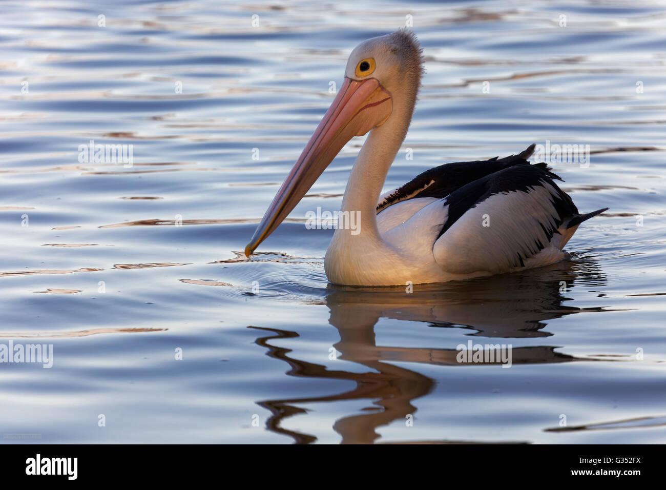 Australian pelican (Pelecanus conspicillatus) in water, Noosa River, Noosaville, Queensland, Australia - Stock Image