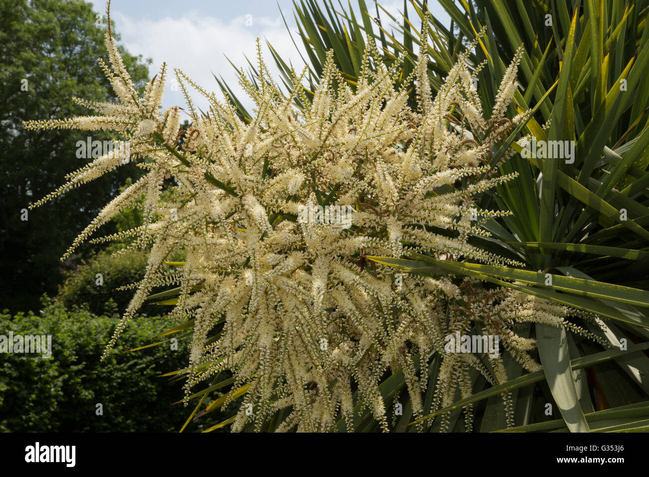 Cordyline Australis Flowers Commonly Known As The Cabbage Tree Stock Photo Alamy