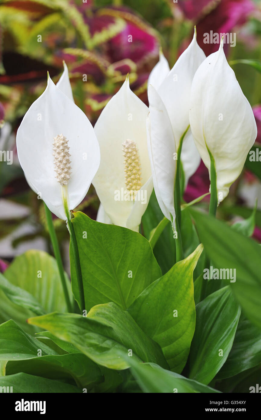 Close up of peace lily flowers stock photo 105219827 alamy close up of peace lily flowers izmirmasajfo