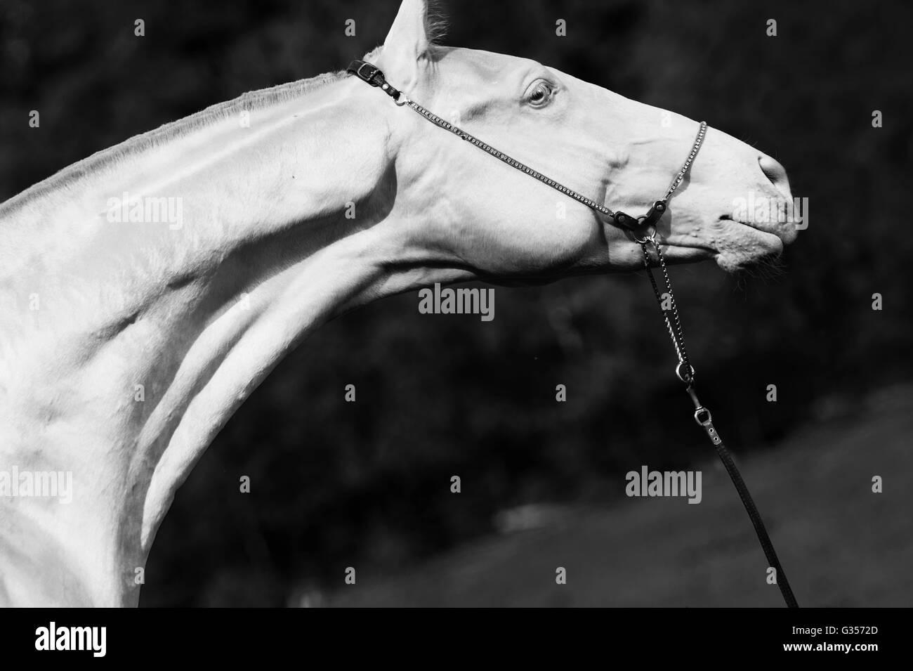 portrait of creamello purebred akhalteke stallion - Stock Image