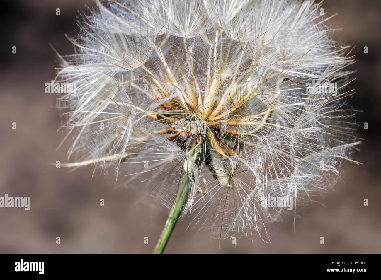 Jack-go-to-bed-at-noon / meadow salsify / meadow goat's-beard (Tragopogon pratensis) showing feathery bristles - Stock Image