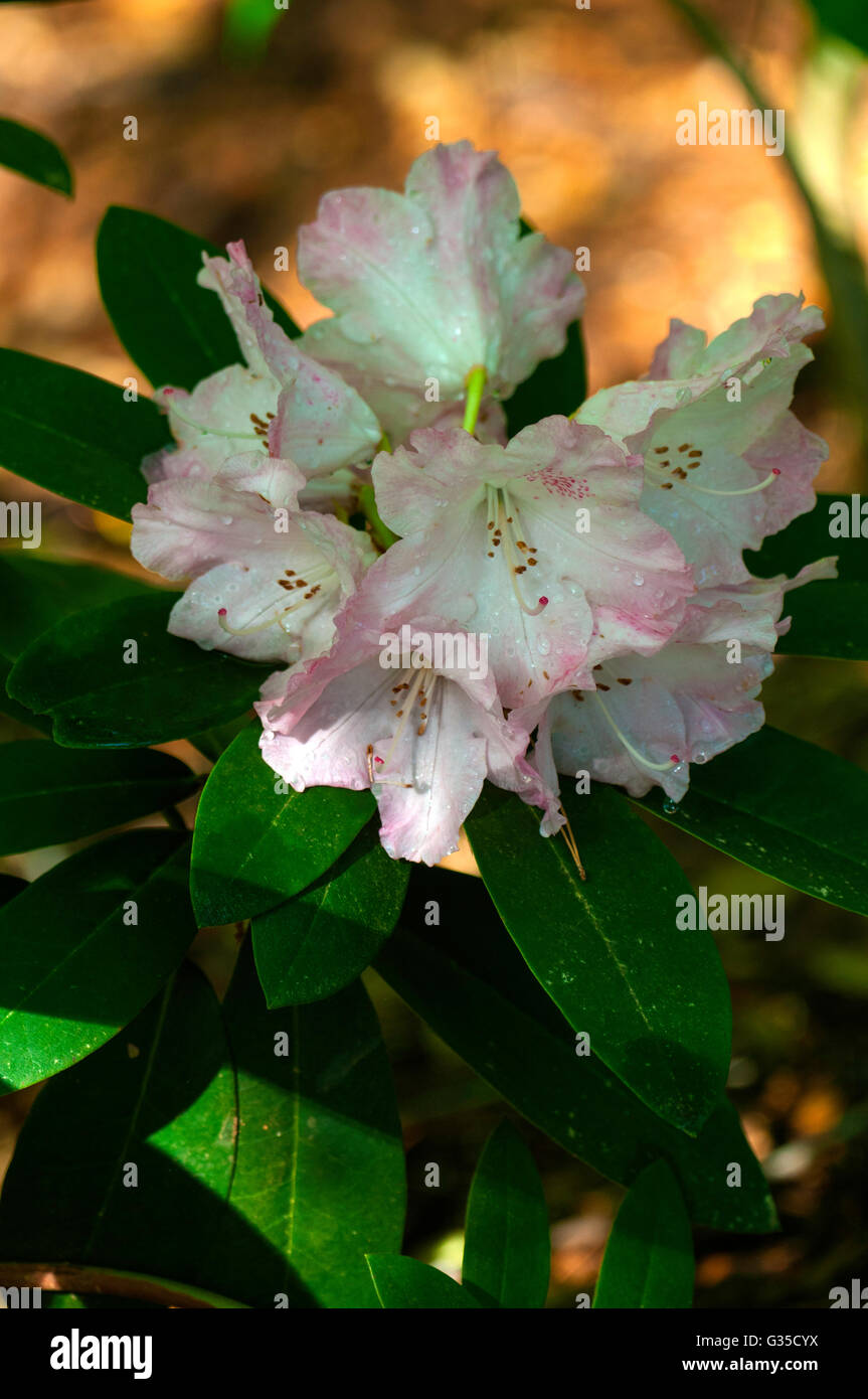 Rhododendron SOLIDARITY - Stock Image