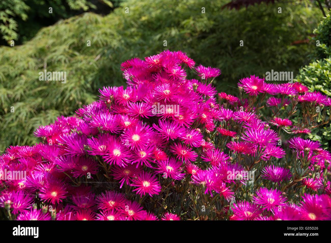 The stunning magenta flowers of sun-loving Lampranthus spectabilis - Stock Image