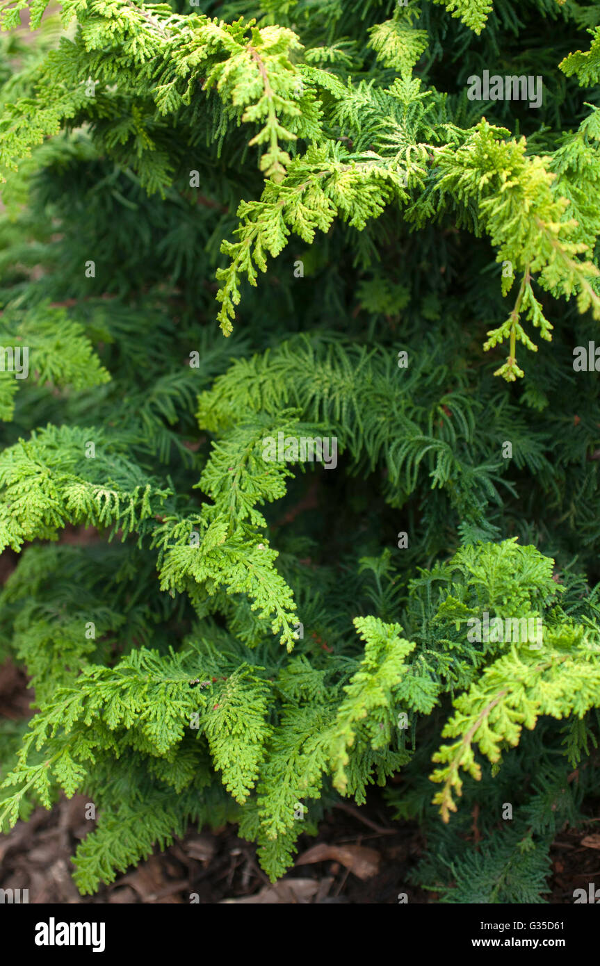 Chamaecyparis FERNSPRAY GOLD, conifer - Stock Image