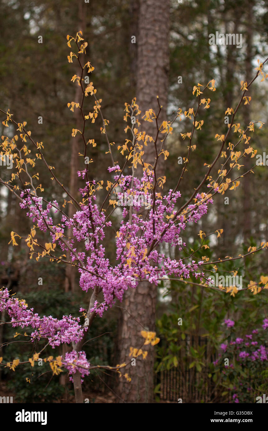 Cercis Canadensis, RISING SUN,   gold foliage, - Stock Image