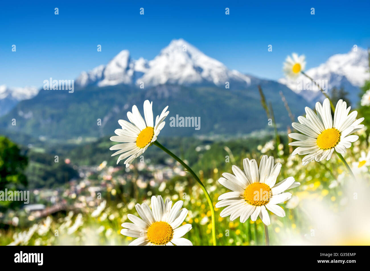 Alpine landscape with beautiful flowers blooming in idyllic meadows alpine landscape with beautiful flowers blooming in idyllic meadows and snowcapped mountain tops on a sunny day in spring izmirmasajfo