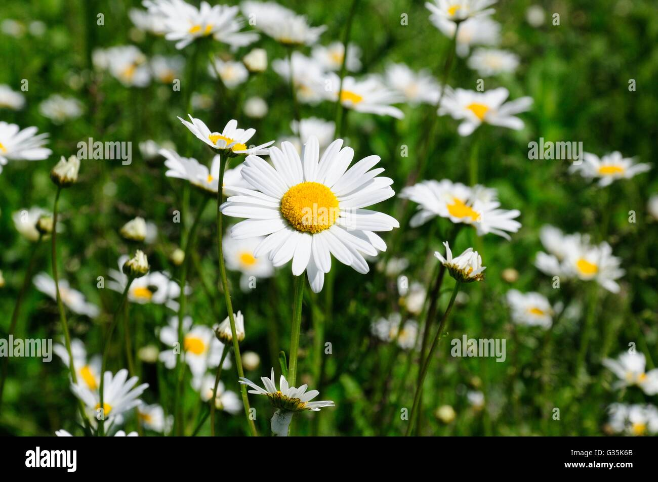 Ox eye dog daisies in a hedgerow with one daisy flower isolated ox eye dog daisies in a hedgerow with one daisy flower isolated leucanthemum vulgare chrysanthemum vulgare izmirmasajfo