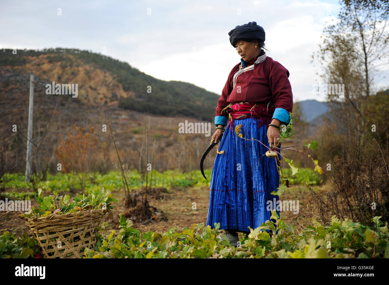 CHINA Yunnan Lugu Lake , ethnic minority Mosuo who are buddhist and women have a matriarch, woman harvest reddish Stock Photo